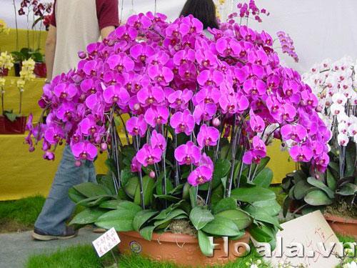 http://hoala.vn/upload/img/images/lan_ho_diep(1).jpg