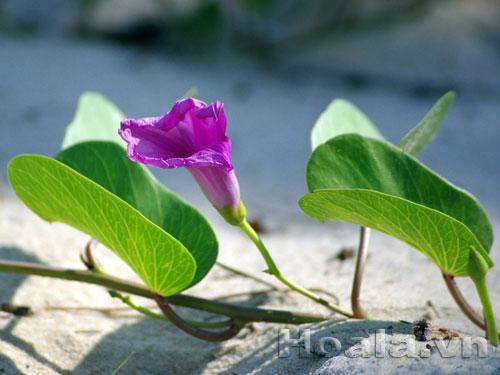 Dịu dàng hoa-muống-biển (Huy Uyên - Đà Nẵng)