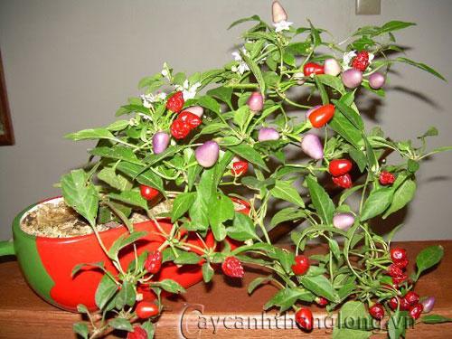 Cách trồng và chăm sóc cây ớt ngũ sắc | hoala.vn